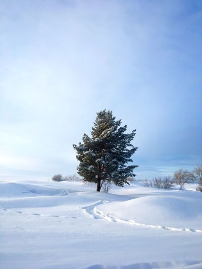 Majestic sprawling single pine on snow covered field against sky