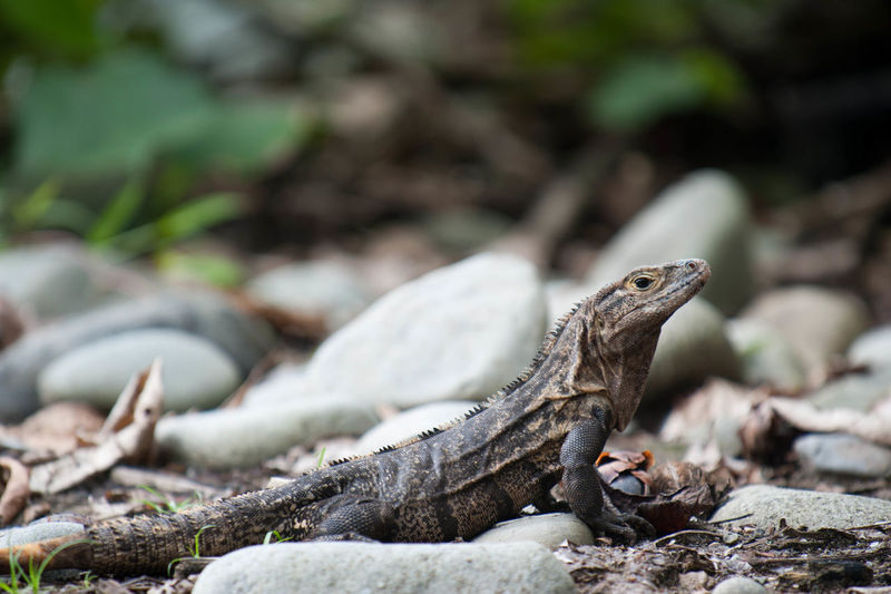 Iguana resting on rocks