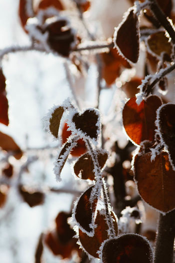 Cold Temperature Winter Snow Frozen Beauty In Nature Close-up Plant No People Focus On Foreground Ice Day White Color Nature Frost Covering Growth Food Dry Outdoors Leaves