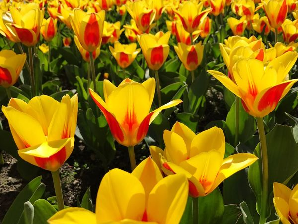 Tulips Tulip Yellow Tulips Flower Fragility Beauty In Nature Freshness Petal Nature Yellow Growth Flower Head Blooming Plant Close-up Field No People Day Outdoors Park