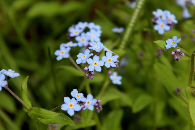 Flower Plant Nature Springtime Multi Colored Outdoors Beauty In Nature Flower Head Botanical Garden Close-up Forget Me Not Forget-me-not Blue Green Tiny Flowers Tiny Background