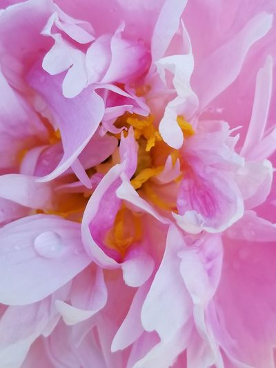 Close-up of pink rose flower