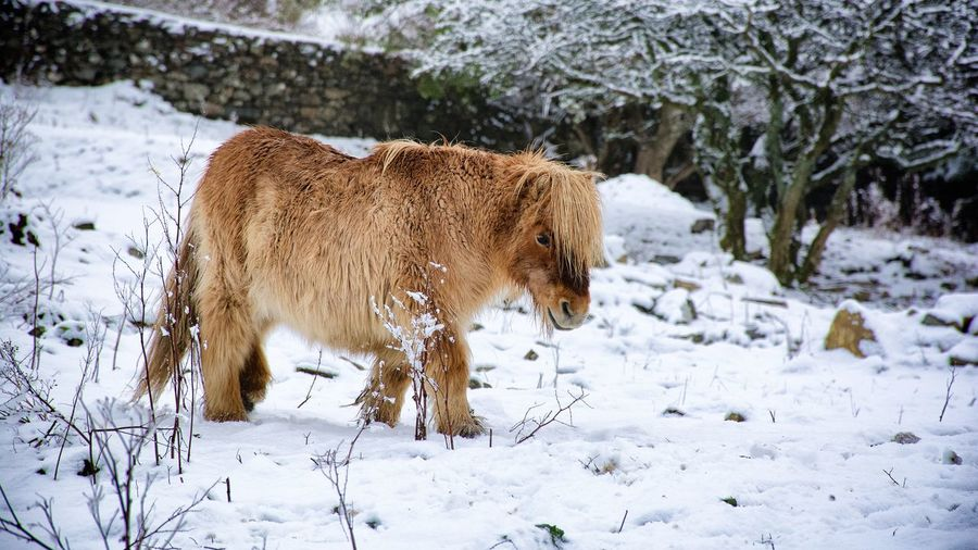 Shetland pony standing on snow covered field