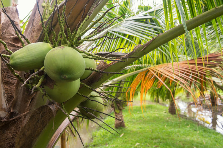 Close-up of coconut palm tree on field