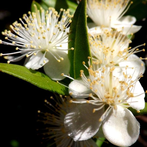 Flower White Color Growth Nature Beauty In Nature Flower Head Blossom Fragility Petal Close-up No People Stamen Plant Freshness Day Outdoors White Flowers Flowers