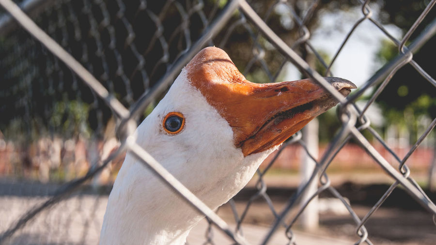 50mm Animal Animal Body Part Animal Eye Animal Head  Animal Themes Animal Wildlife Beak Bird Birdcage Cage Close-up Day Duck Eye EyeEm Best Shots Feather  Focus On Foreground Nature No People Outdoors Pato Perching Selective Focus Wildlife Adapted To The City