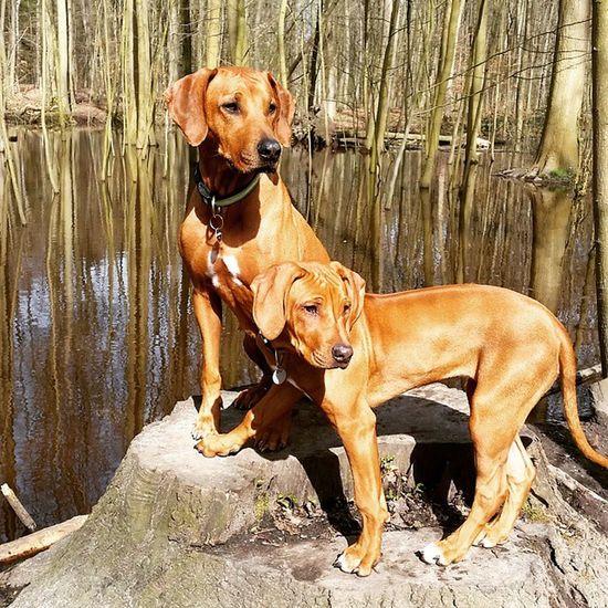 Fotoshooting vor einem kleinen Moorgebiet bei schönsten Wetter 😊 Rhodesianridgeback Hund Dog Welpen puppies puppy ohana joy love picoftheday instadogs liondog löwenhund rhodesian ridgeback