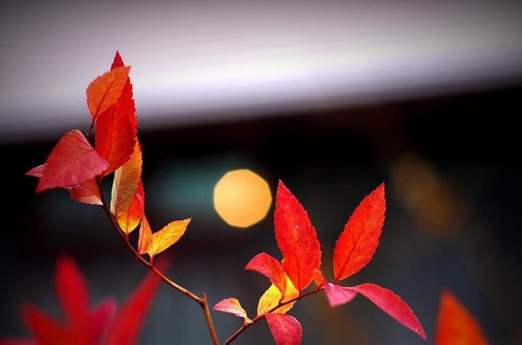 Autumn Autumn Colors Bokeh Leaf Light Red Red Leaves Twinkling Lights