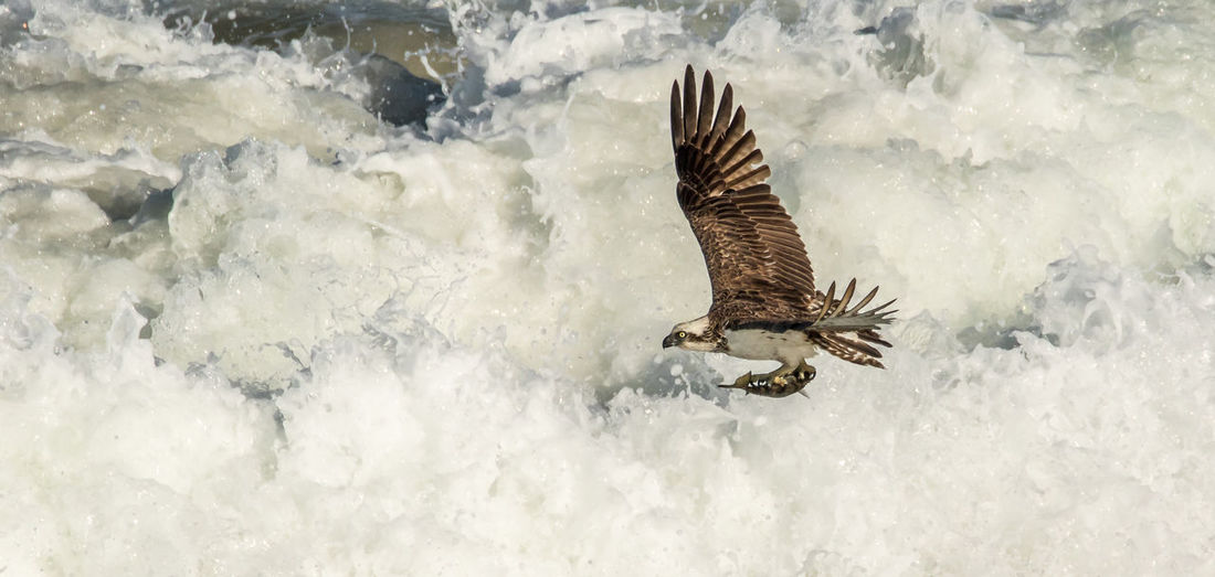 Osprey flying over sea