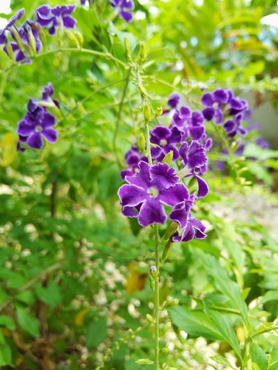 Beauty In Nature Close-up Flower Flowering Plant Focus On Foreground Freshness Growth Leaf Nature Outdoors Petal Plant Purple สวน ไม้ประดับ