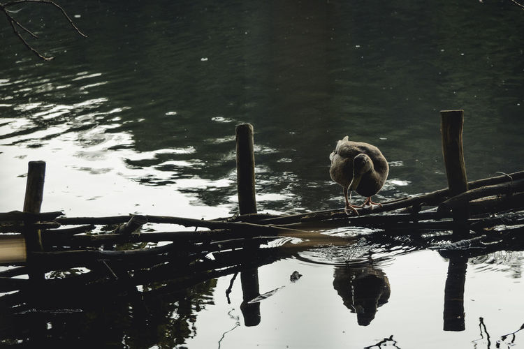 Animal Themes Animals In The Wild Beauty In Nature Bird Black And White Day Duck Lake Lake View Nature No People Non-urban Scene Reflection Scenics Standing Water Tranquil Scene Tranquility Water Water Surface Waterfront Wildlife Zoology