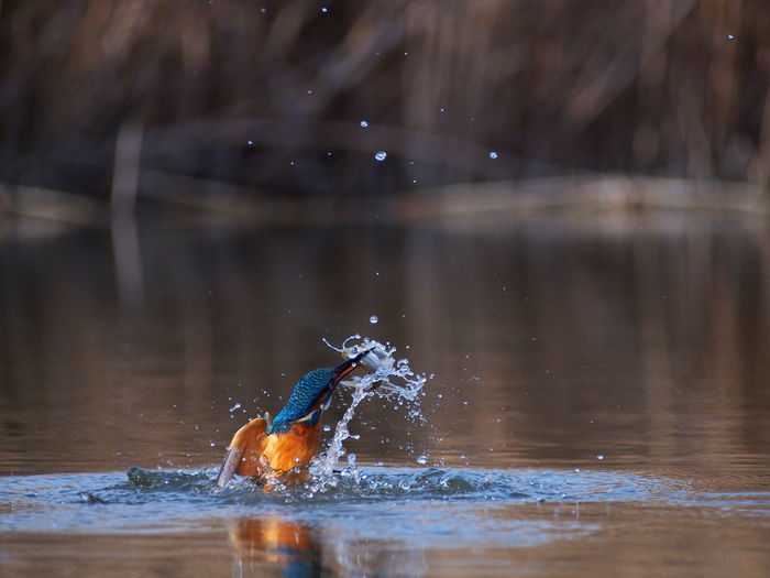 Kingfisher in lake