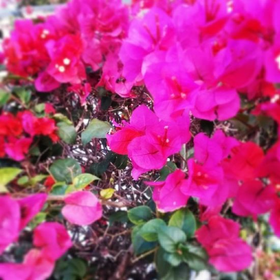 Excercise Walkingtoschool  Flowerfrenzy Flowerporn Earlymorning  Another beauty, Hu? Walking I see the things I miss in the car... Beauty :)