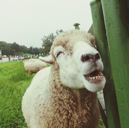 웃는 양 laughing sheep Sheep