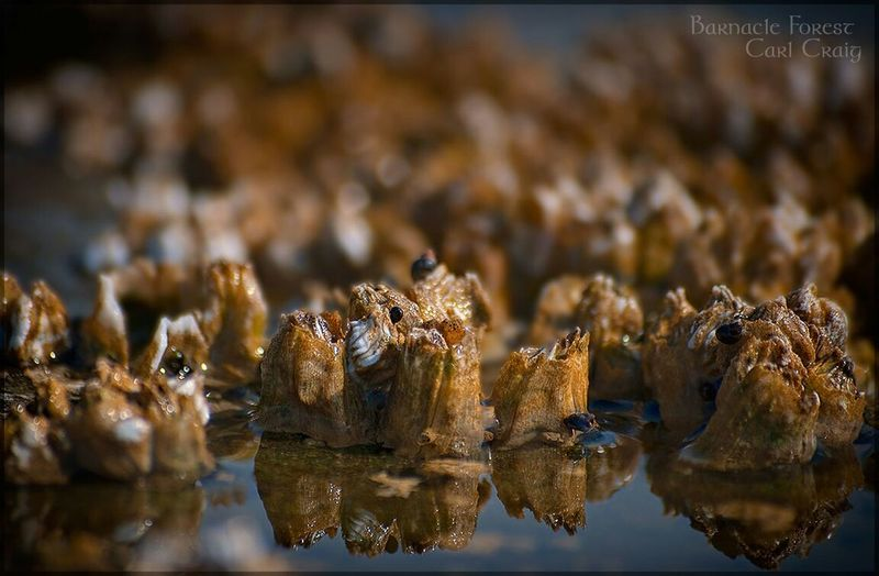 A barnacle forest Barnacles Gabriola DSLR Reflection Close Up
