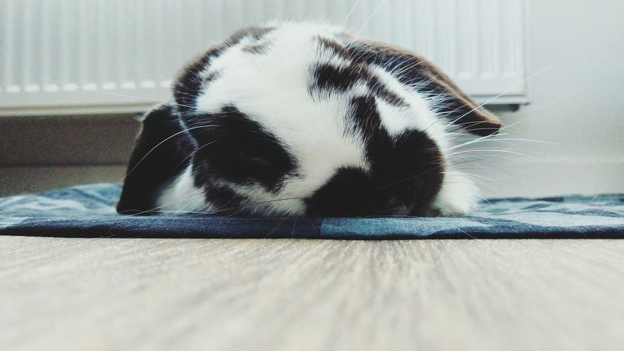 Pets Bunny  Rabbit Hollandlop Sleepy Sleepybunny Zen Pets Corner Love First Eyeem Photo EyeEmNewHere