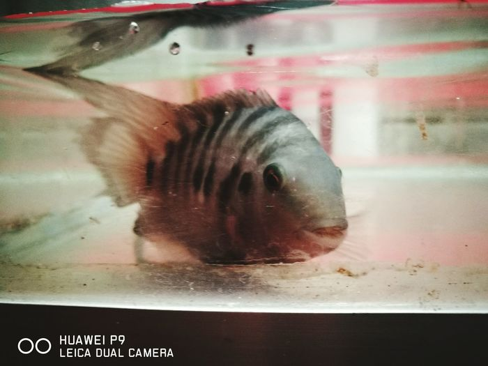 Convicto Ciclidos Pet Photography  Fish Pets Water