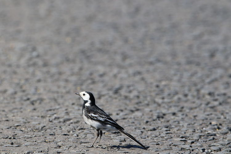 Pied wagtail on a path