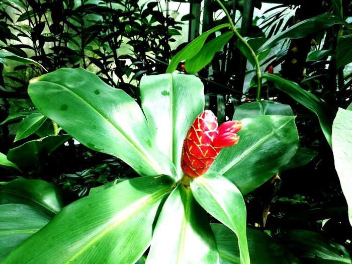 Leaf Growth Green Color Nature Plant Flower Outdoors Beauty In Nature Day No People Red Flower Head Close-up Freshness Fragility