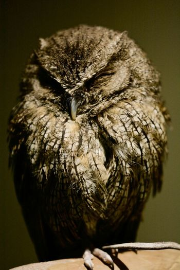 Animals, Birds, Nature Close-up Owl First Eyeem Photo