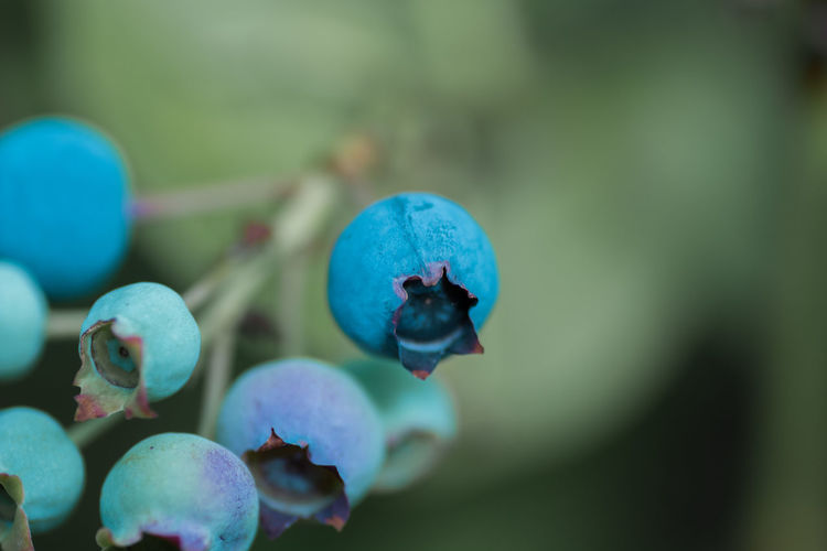 Beauty In Nature Berry Fruit Blue Blueberry Close-up Day Flower Flowering Plant Focus On Foreground Food Food And Drink Freshness Fruit Growth Healthy Eating Nature No People Plant Selective Focus Wellbeing
