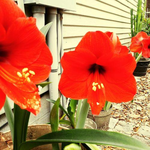 EyeEmNewHere Flower Head Flower Poppy Red Hibiscus Close-up Plant