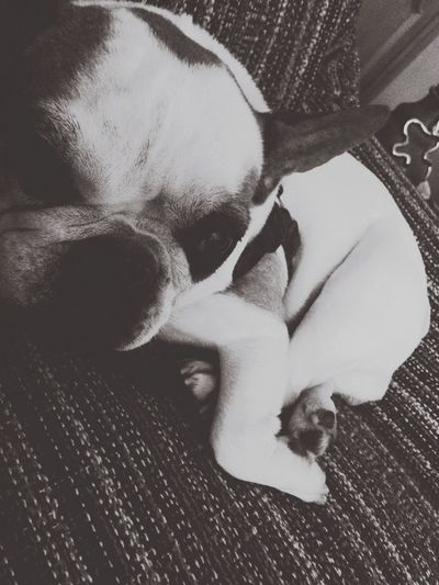 Belly,s Frenchbulldog Bella