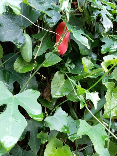 Leaves Leaf Green Color Growth Plant Nature Day Outdoors Coccinia Grandis Healthy Eating Food Ivy Beauty In Nature Close-up Freshness Beauty In Nature Fragility Water