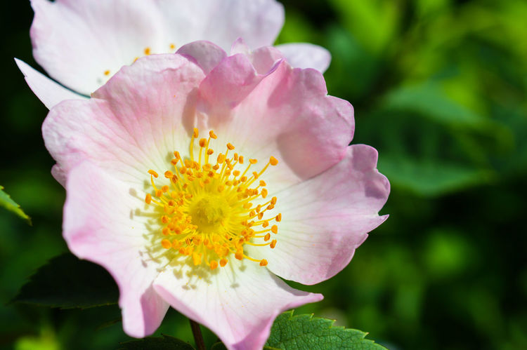 A Dog Rose in full Bloom... Rose🌹 Roses Roses🌹 Blooming In Bloom Day Fragile Soft Close-up Macro Macro_collection Macro Nature Macro_flower Nature Nature_collection Nature Photography Beauty In Nature Stem Pollen Germany Outdoors Summer Summertime