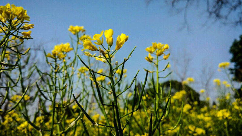 Yellow Flower Growth Nature Beauty In Nature Plant Field Fragility Outdoors No People Freshness Agriculture Tranquility Day Sky MIphotography Plant Beauty In Nature Flower Head Flowers, Nature And Beauty Flower Photography
