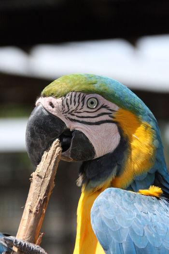 Close-up of macaw biting stick