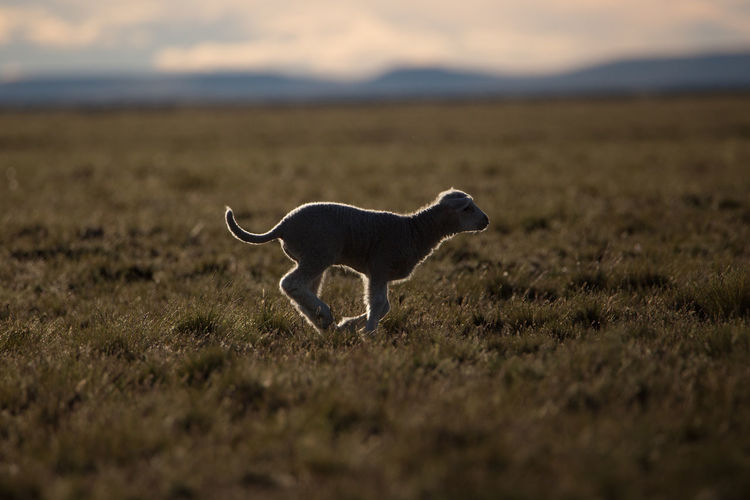 Dog on field against sky during sunset