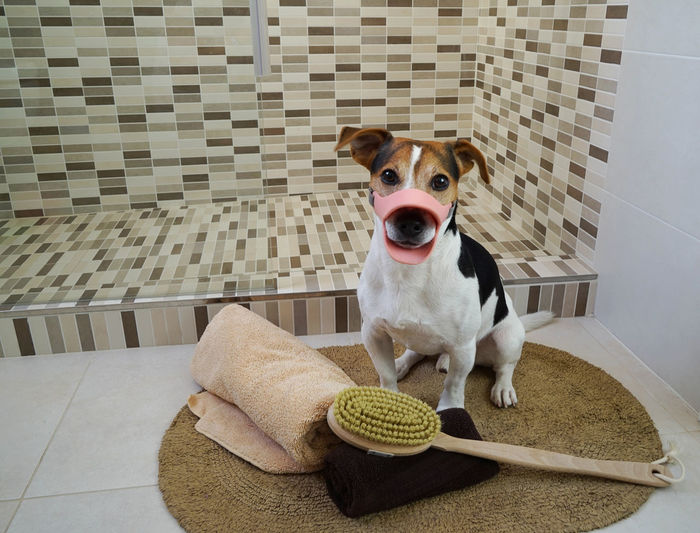 Jack Russell Terrier With Muzzle Sitting In Bathroom