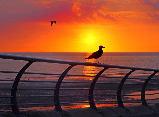 seagull perched on a railing silhouetted against a beautiful golden sunset reflected on a calm twilight sea with red and purple dramatic evening clouds with another bird flying along the shore Beautiful Blackpool Twilight Animal Animal Themes Animal Wildlife Beach Beauty In Nature Bird Coast Horizon Horizon Over Water Nature No People Ocean One Animal Orange Color Perching Scenics - Nature Sea Seagull Silhouette Sky Sunset Water
