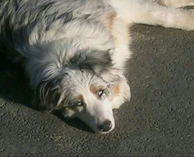 Scila Dog