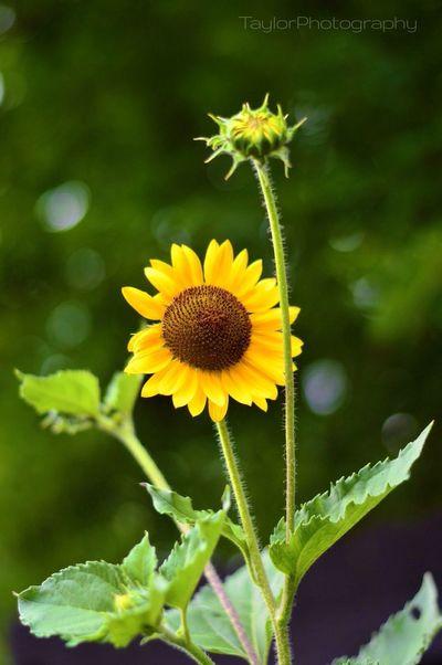 ? Sunflower Nikon Taylorphotography