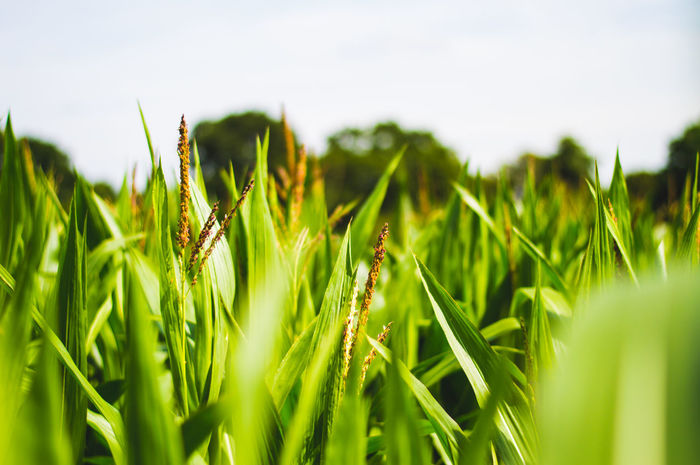 Top of Maze plants in field Agriculture Beauty In Nature Blade Of Grass Cereal Plant Close-up Crop  Day Farm Field Green Color Growth Land Landscape Nature No People Outdoors Plant Plantation Rural Scene Selective Focus Sky Tranquility Wheat