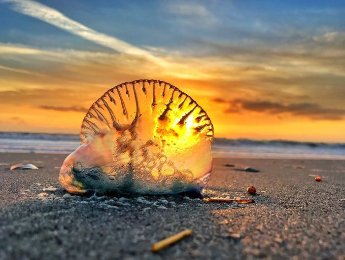 Close-up of jellyfish at beach against sky during sunset
