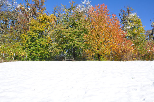bench under autumns trees, snow covered meadow Autumn Colors Autumn Leaves Weather Cold Temperature Early Snowfall Fruit Trees Nature Season  Snow Tree