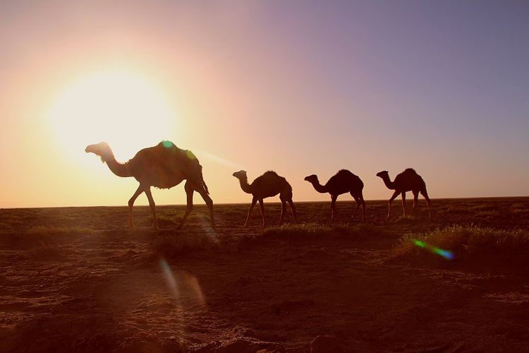 Silhouette Camels Against Clear Sky During Sunset