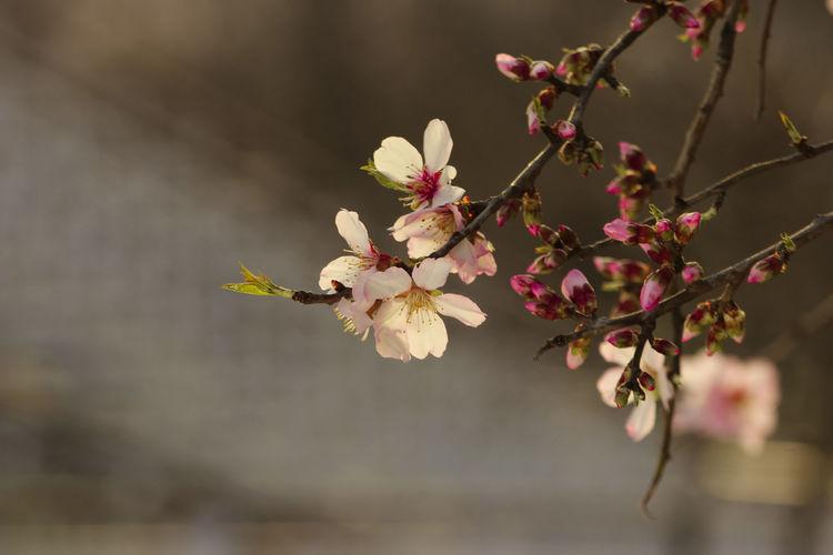 Almond leaves