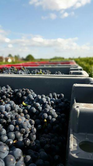 Wine Harvest Pinot Noir