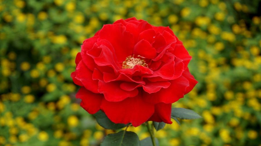 Mawar Rosé Roses Flower Red Beauty In Nature Nature Fragility Flower Head Rose - Flower Rose🌹 Outdoors Close-up