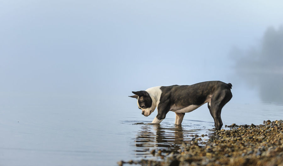 Boston terrier standing in lake during foggy weather