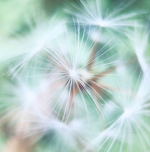 Vulnerability  Fragility Dandelion Flower Close-up Freshness No People Backgrounds Dandelion Seed Flowering Plant Full Frame Plant Outdoors Softness Nature Beauty In Nature Seed Selective Focus Growth Day