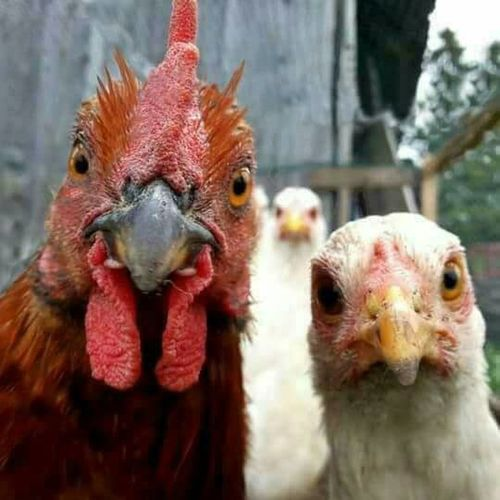 Animal Animal Head  Chicken - Bird Domestic Animals