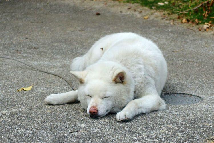 友達になってくれない白太郎(仮)でした。 Dog One Animal Pets Animal Themes Domestic Animals Mammal Full Length No People Outdoors Taking Photos Animal 犬 いぬ White お父さん つれない 人んちの子 Dogs Photography Sleep Sleeping 可愛い かわいい ふわもこ部