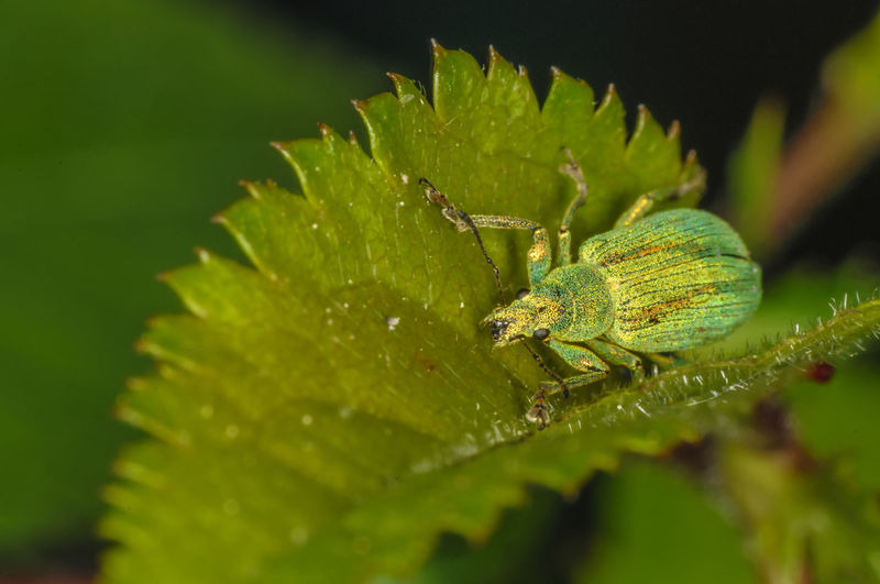 weevil Animal