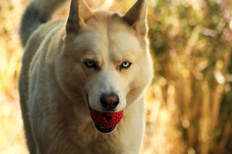 Close-up of siberian husky holding ball in mouth
