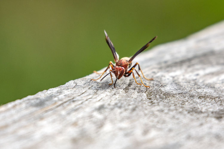 Face to face with a red wasp! Animal Animal Body Part Animal Themes Animal Wildlife Animals In The Wild Close-up Day Insect Invertebrate Nature No People One Animal Outdoors Selective Focus Solid Textured  Wasp Wood - Material Zoology